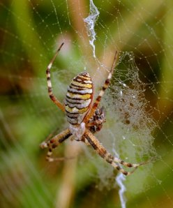 argiope brunnechii female